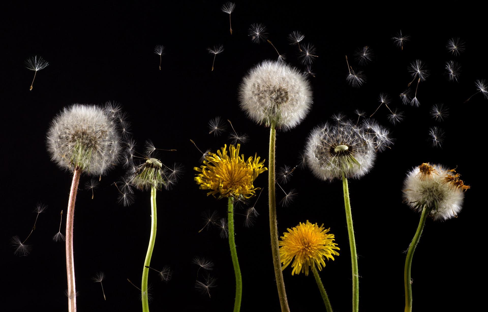 Dandelions blowing